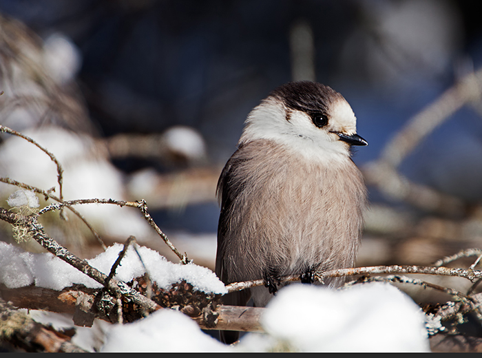 Gray Jay original jpg